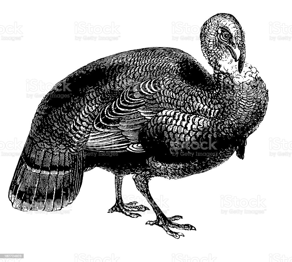 Wild turkey   Antique Bird Illustrations vector art illustration