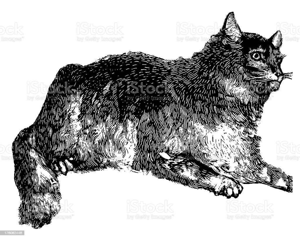 Wildcat | Antique Animal Illustrations royalty-free stock vector art