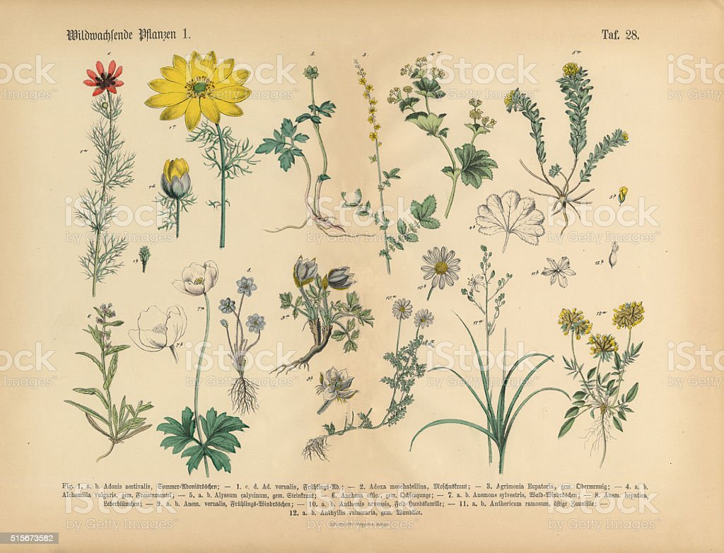 Wildflower and Medicinal Herbal Plants, Victorian Botanical Illustration vector art illustration