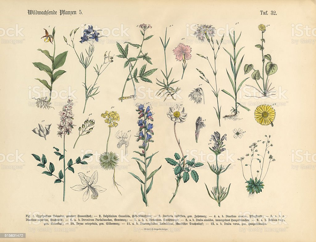 Wildflower and Medicinal Herbal Plants, Victorian Botanical Illustration stock photo