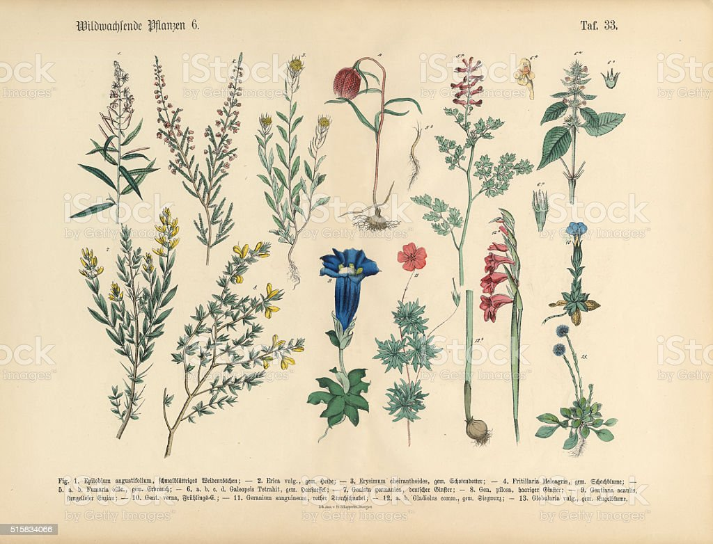 Wildflower and Medicinal Herbal Plants, Victorian Botanical Illustration vector art illustration