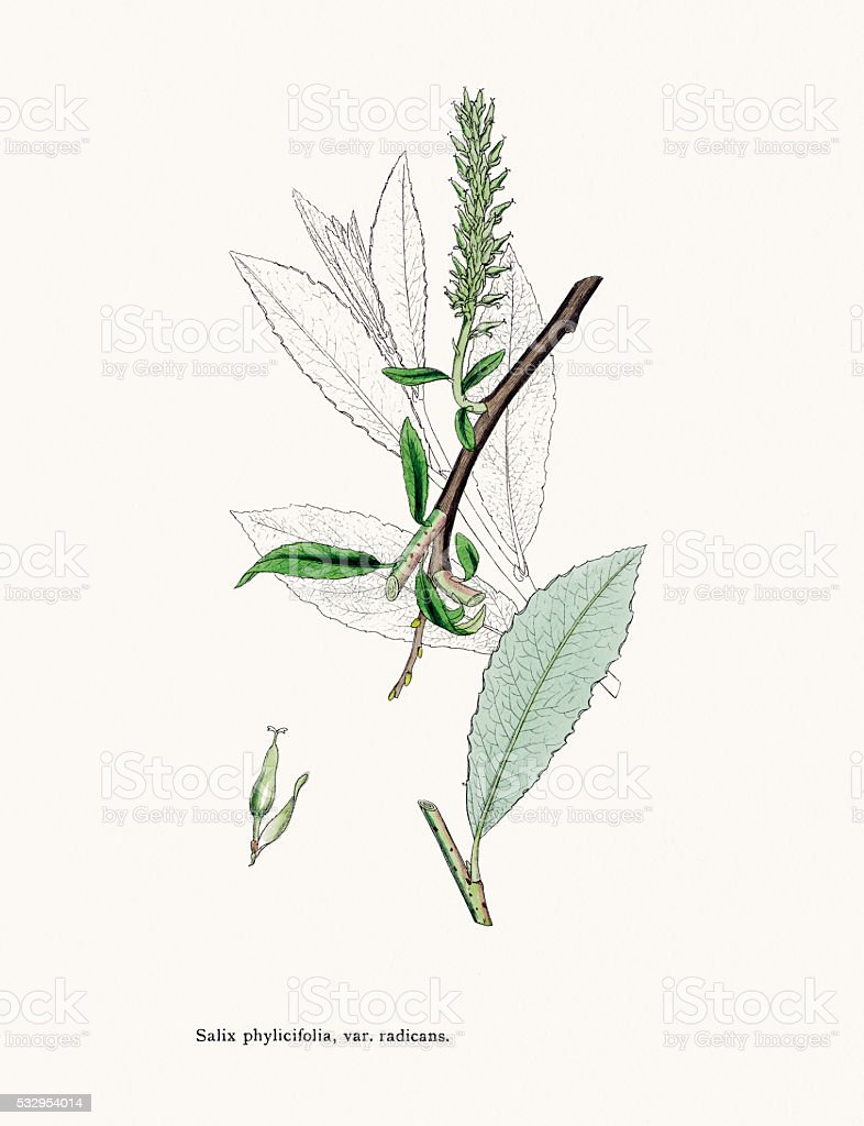 Willow medicinal tree remedy for aches and fever vector art illustration