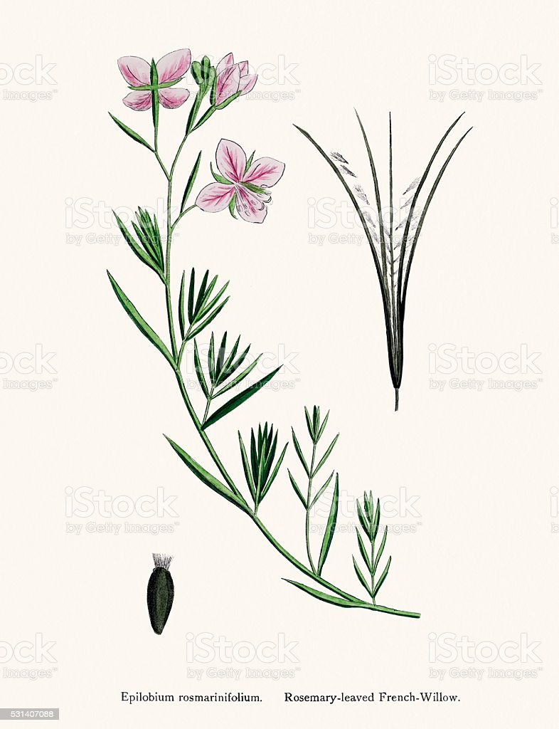 Willowherbs medicinal herb against prostate, bladder and hormone disorders vector art illustration