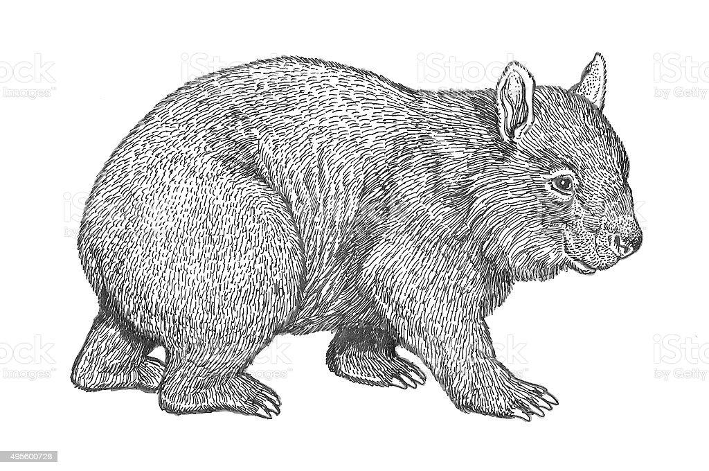 Wombat Lizenzfreies vektor illustration