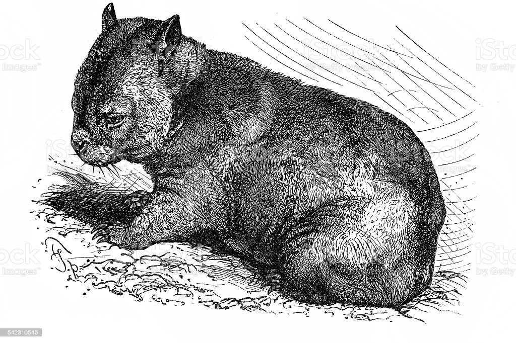 Wombat (Phascolomys fossor) vector art illustration