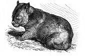 Wombat (Phascolomys fossor)