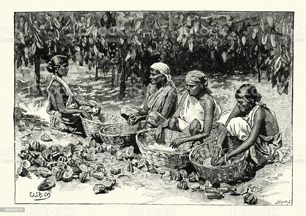 Women harvesting and sroting Cocoa, 1894 vector art illustration