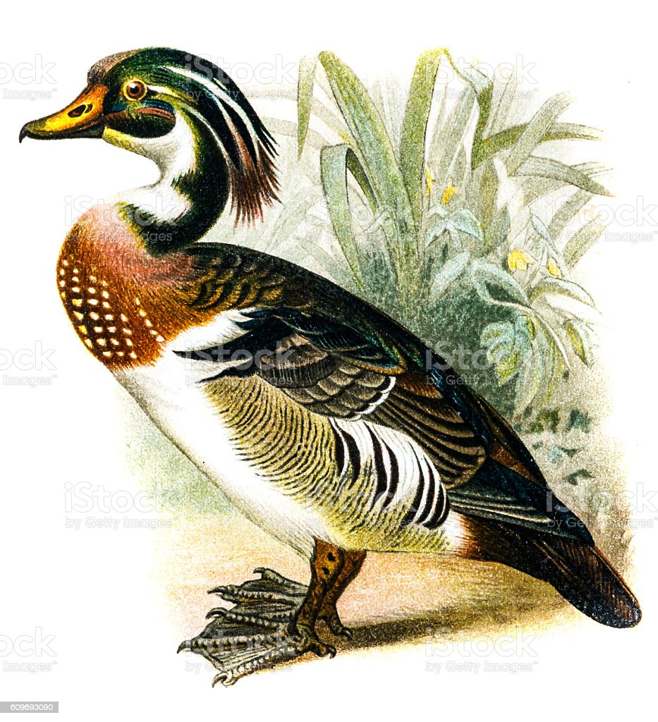 Wood Duck (Aix sponsa) vector art illustration