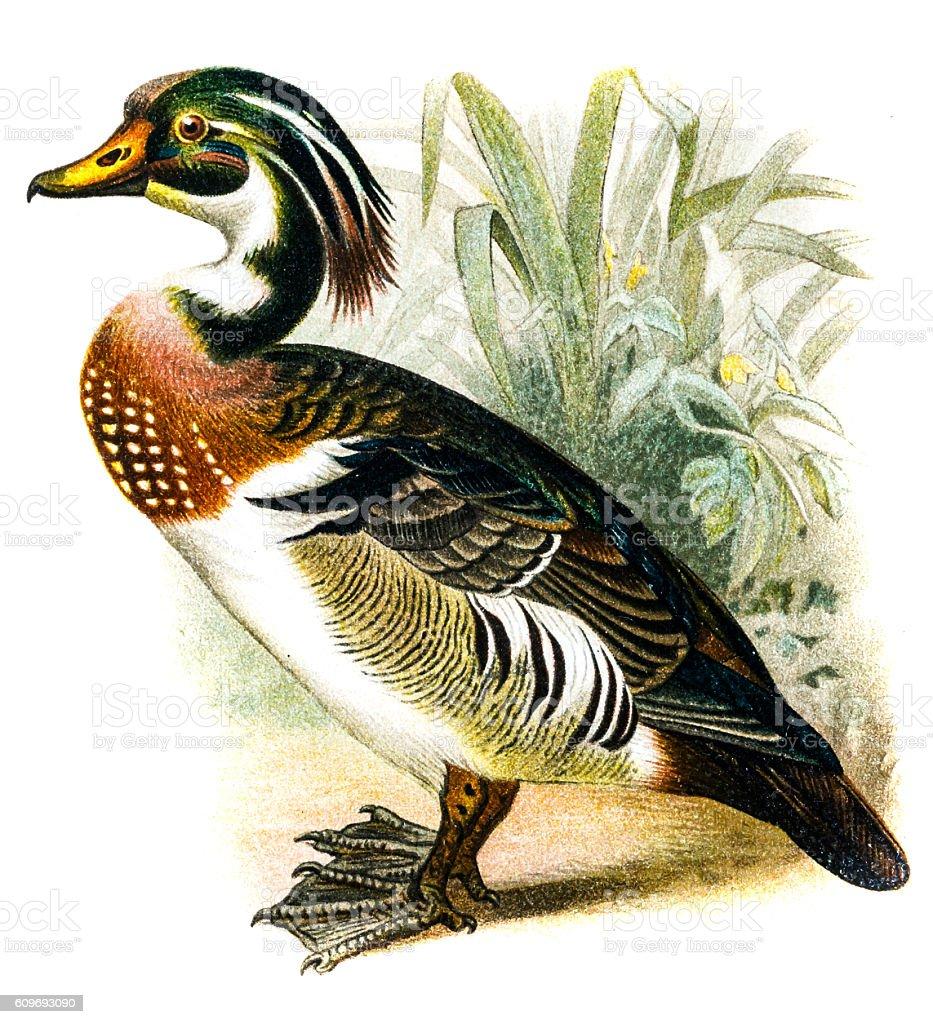 Wood Duck (Aix sponsa) vector art illustration