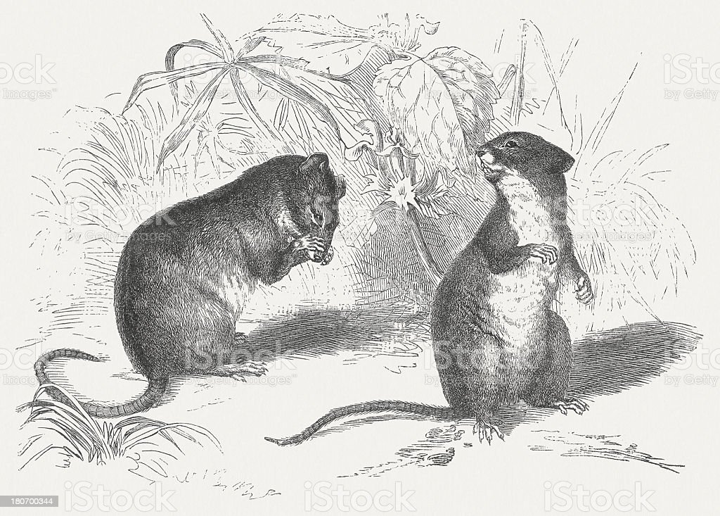 Wood mouse and Striped field mouse, wood engraving, published 1875 royalty-free stock vector art