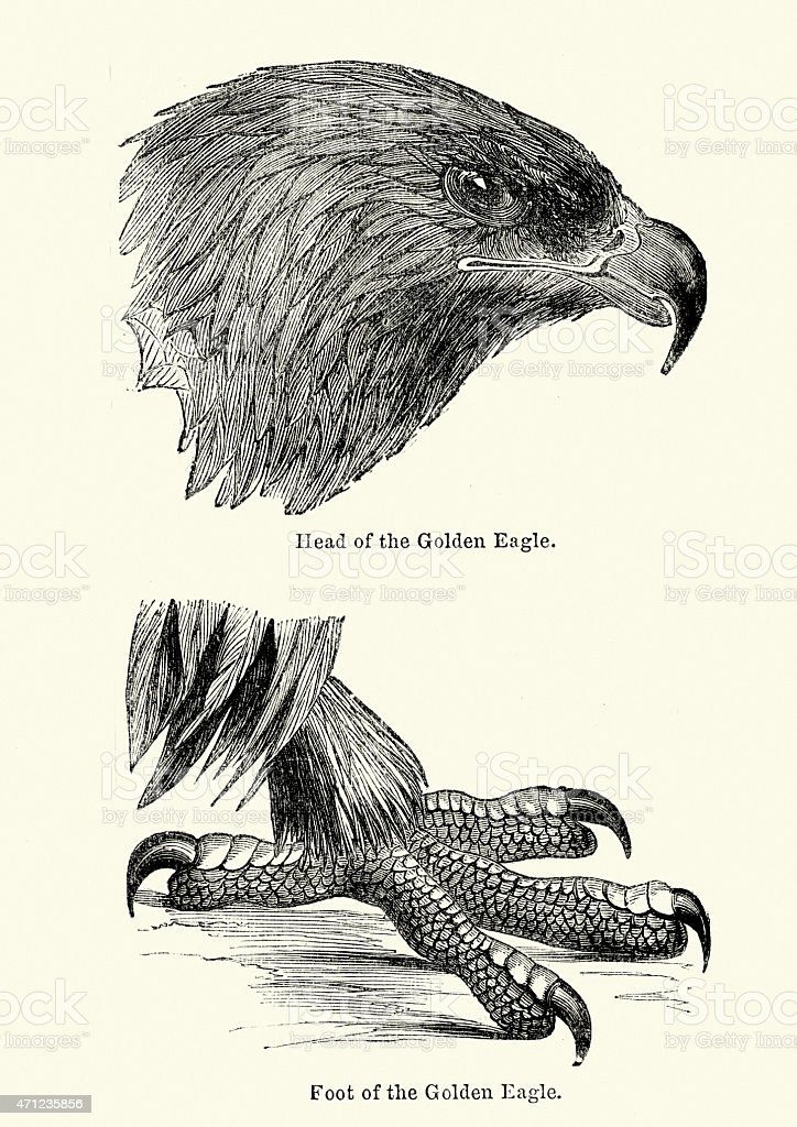 Woodcut engraving of a Golden Eagles Head and Talons vector art illustration