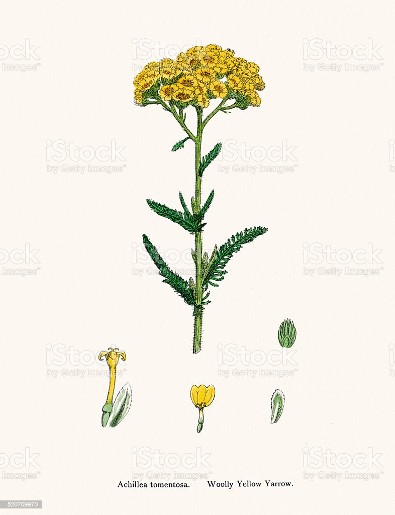 Wooly Yellow Yarrow plant 19th century illustration vector art illustration