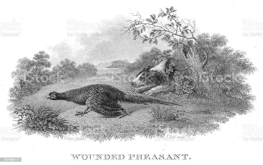 Wounded pheasant engraving 1802 vector art illustration