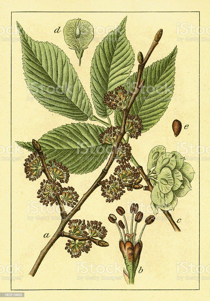 Wych elm | Antique Flower Illustrations vector art illustration