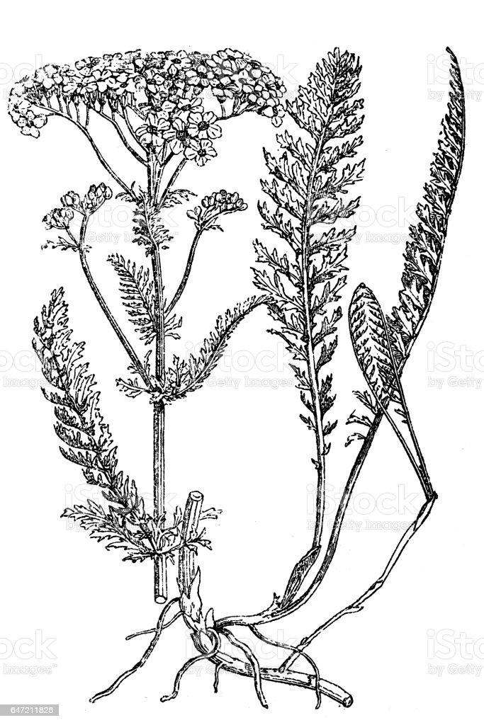 Yarrow plant ,milfoil vector art illustration