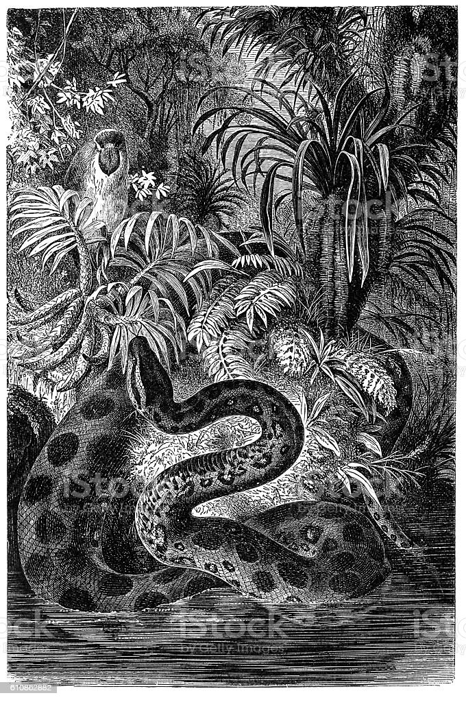 Yellow anaconda (Eunectes notaeus) vector art illustration