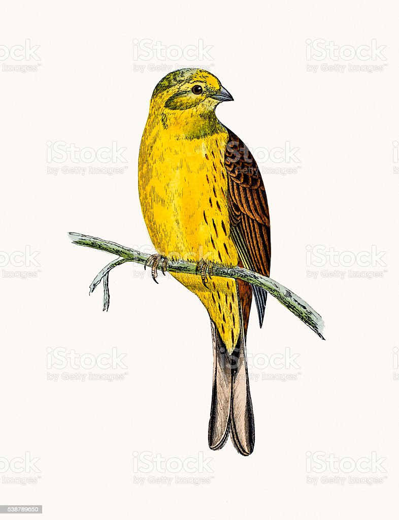 Yellow Hammer bird vector art illustration