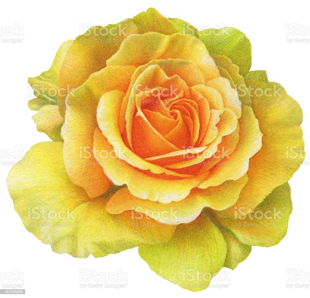 Yellow rose watercolor painting vector art illustration