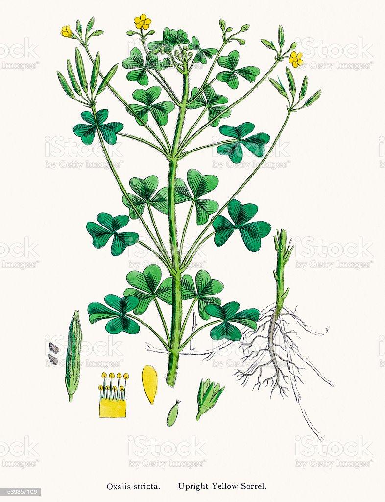 Yellow Sorrel edible and medicinal plant vector art illustration