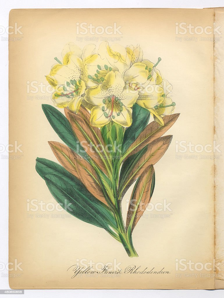 Yellow-Flowered Rhododendron Victorian Botanical Illustration vector art illustration