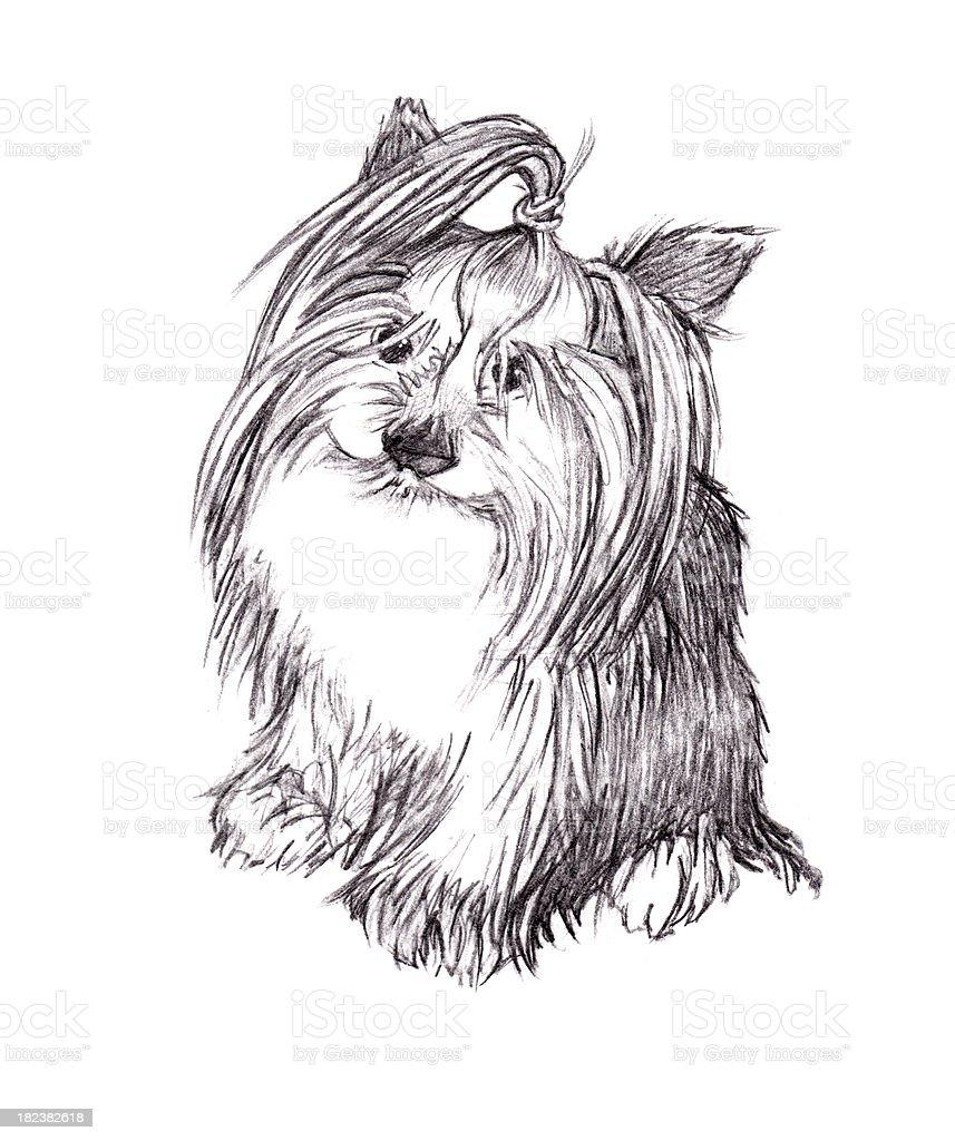 Yorkshire Terrier  Pencil Drawing vector art illustration
