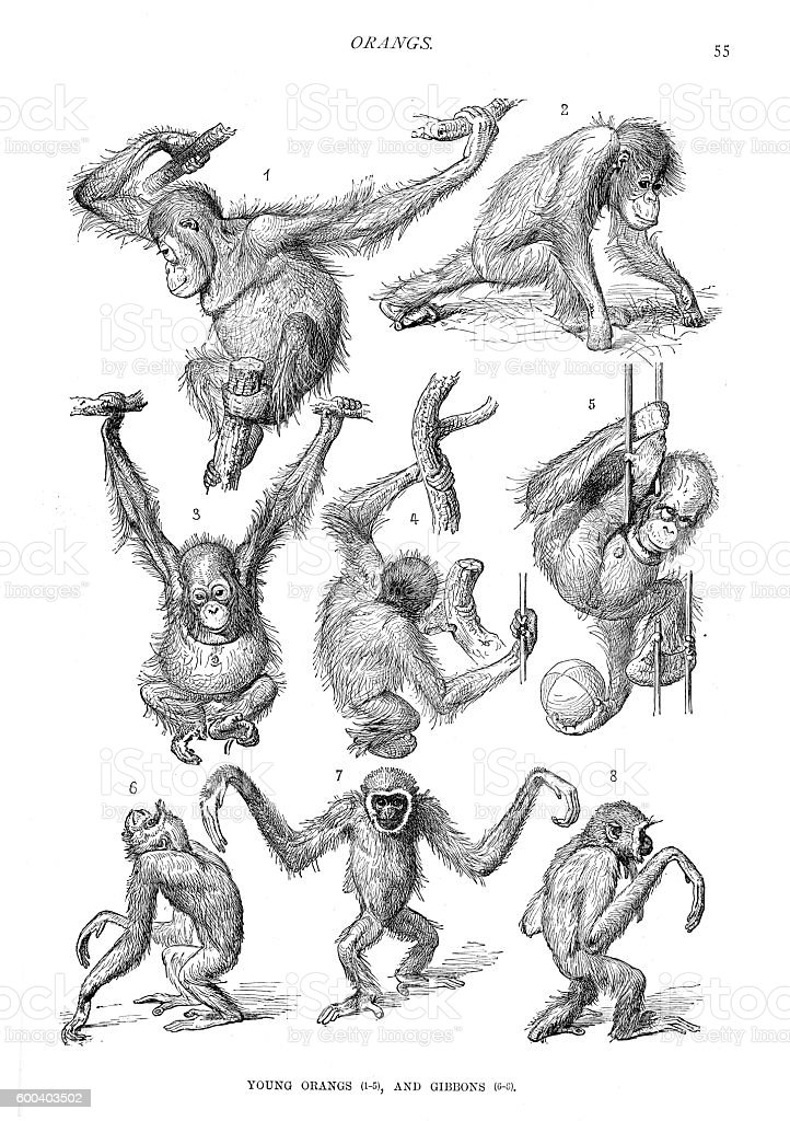 Young orangutans and gibbons engraving 1894 vector art illustration