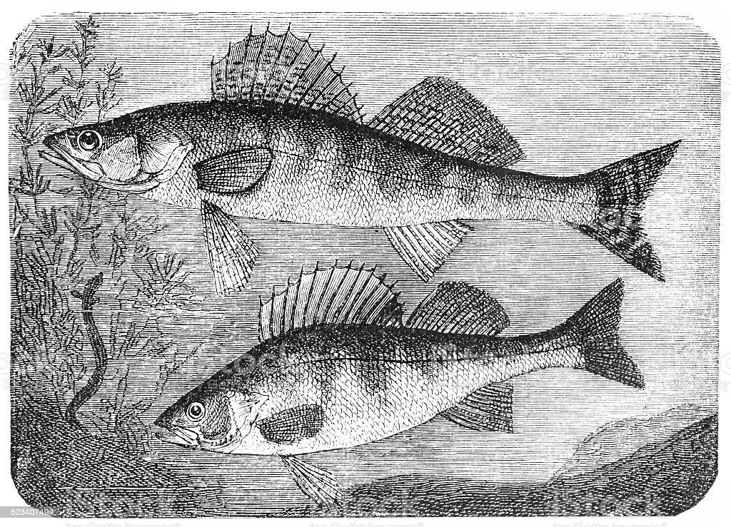 Zander and European perch vector art illustration
