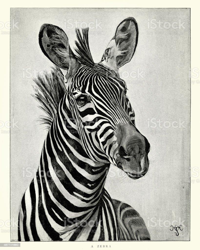 Zebra vector art illustration