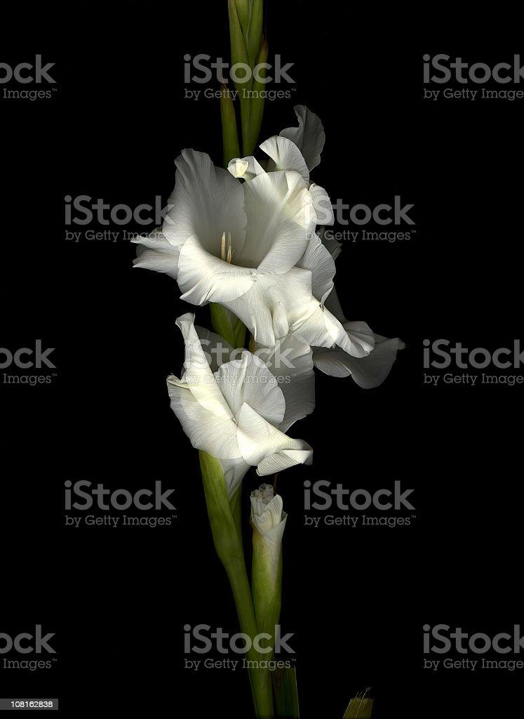 WHITE GLADIOLA FLOWER royalty-free stock photo