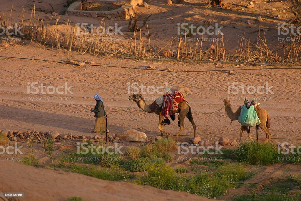 CAMEL DRIVER stock photo