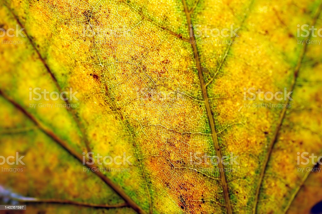 LEAF TEXTURE 1 royalty-free stock photo