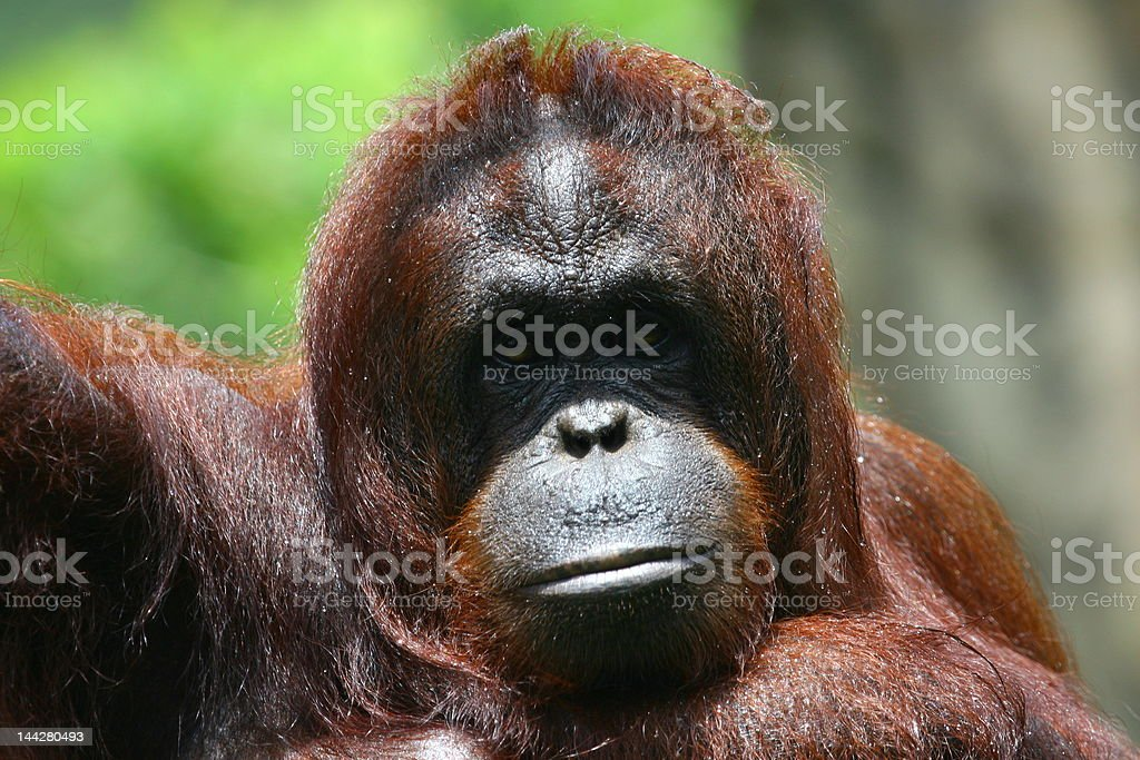 BORNEAN ORANGUTAN (Pongo pygmaeus) stock photo