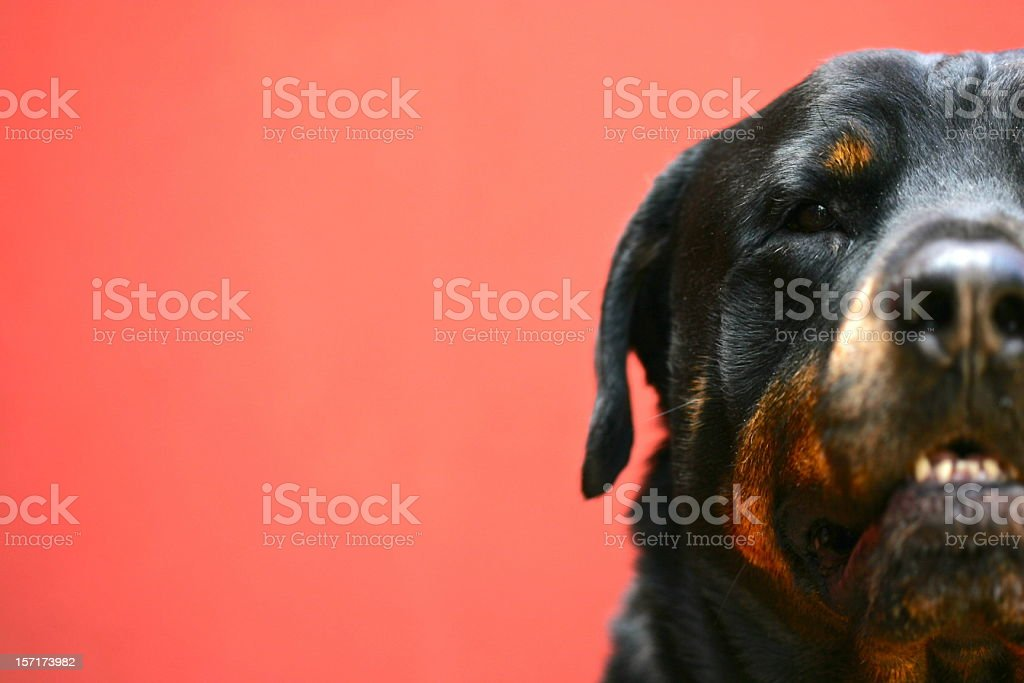 GUARD DOG stock photo
