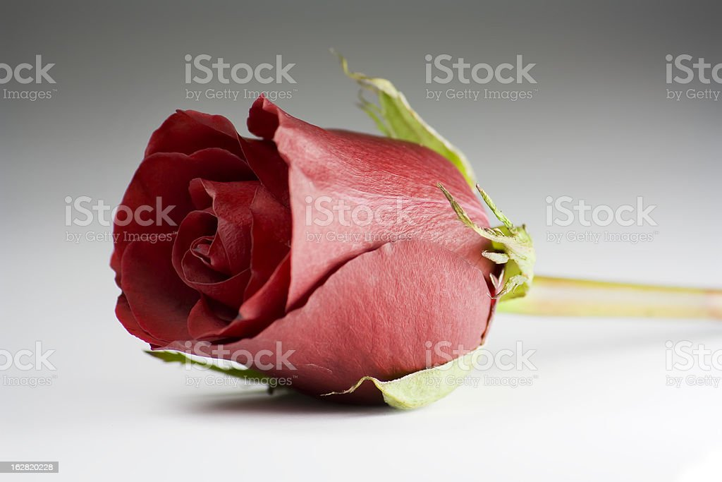 rose, spring time flower beauty in nature royalty-free stock photo