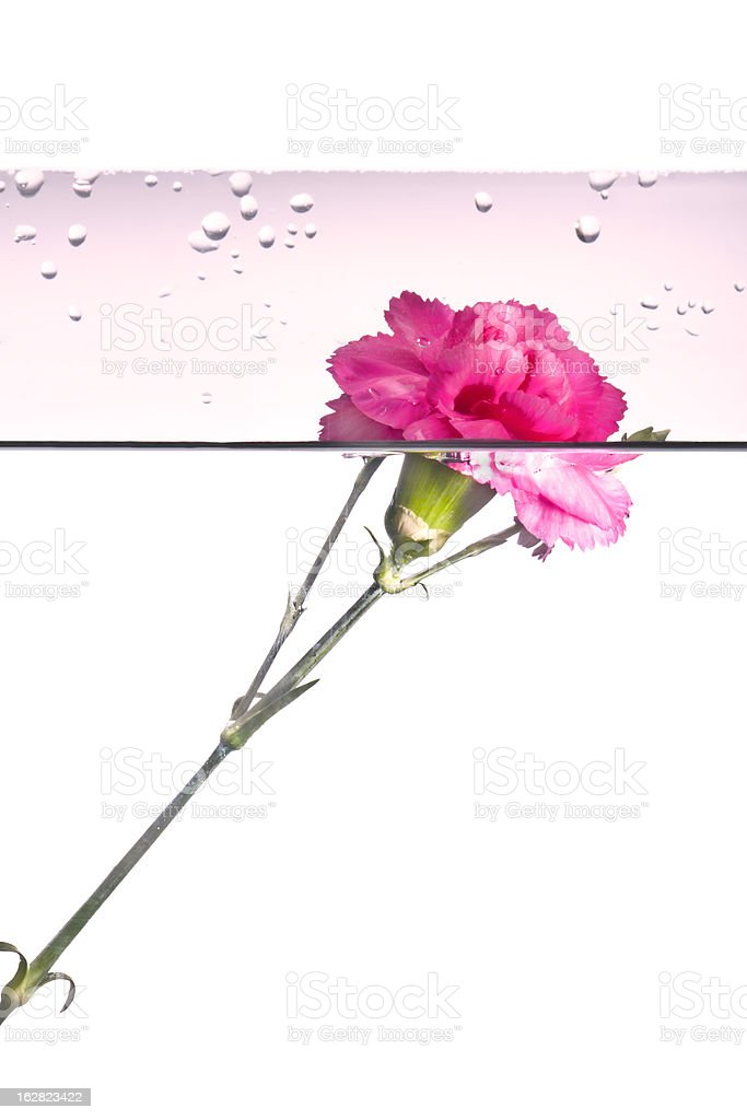 rose, spring time flower beauty in nature stock photo