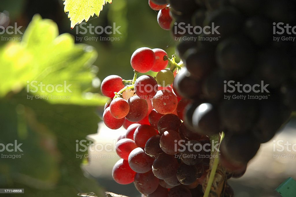SUNLIT GRAPES royalty-free stock photo