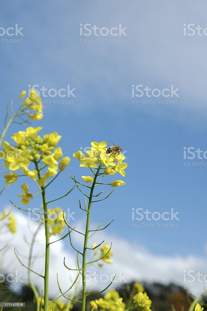 BEE ON MUSTARD FLOWER2 stock photo