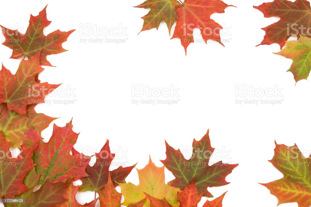 MAPLE LEAF (XL) royalty-free stock photo