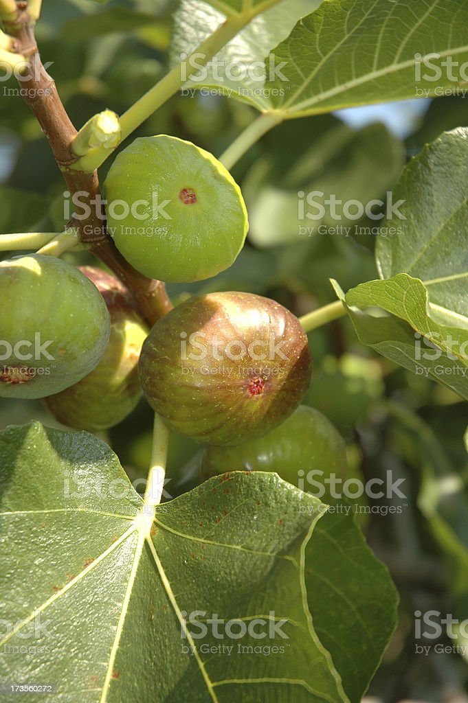 RIPENING FIGS royalty-free stock photo