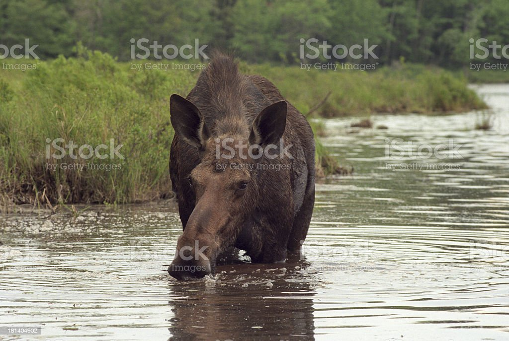 MAINE MOOSE royalty-free stock photo