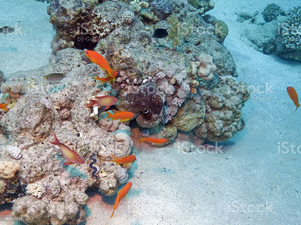 DAY OR REEF OCTOPUS (CYANEA) stock photo