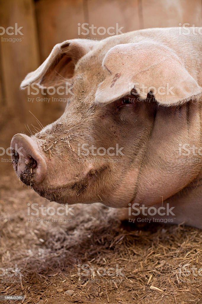 BIG PIG royalty-free stock photo