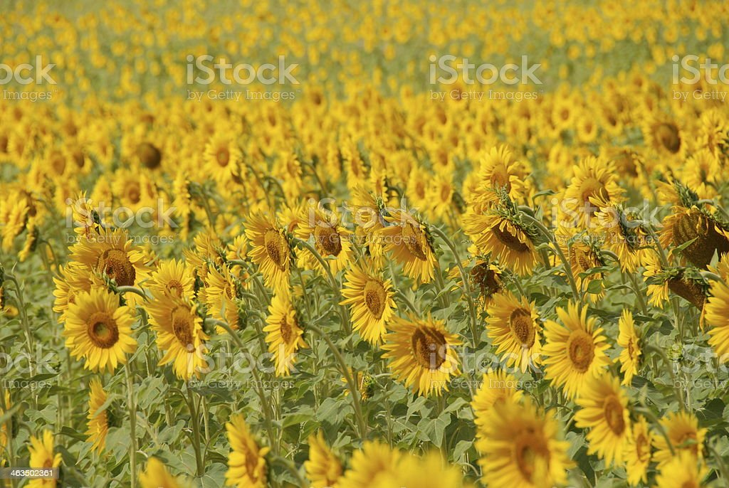 SONNENBLUMENFELD royalty-free stock photo