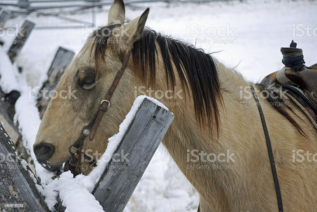 HORSE IN CORRAL EATING SNOW. stock photo