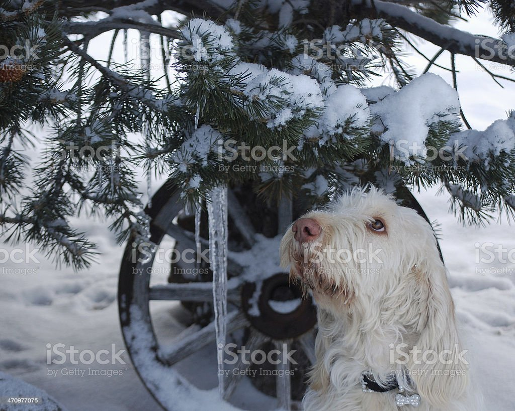 BEAUTIFUL REATA, A SPINONE FROM ITALY. stock photo