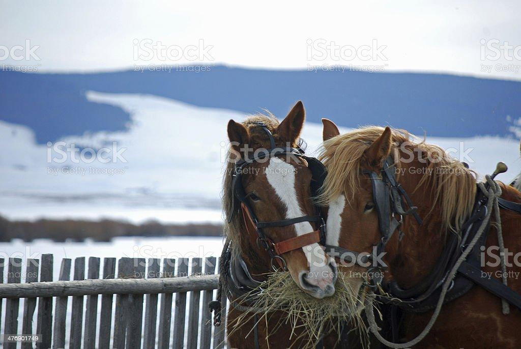 BEAUTIFUL DRAFT HORSES EATING SOME HAY. royalty-free stock photo