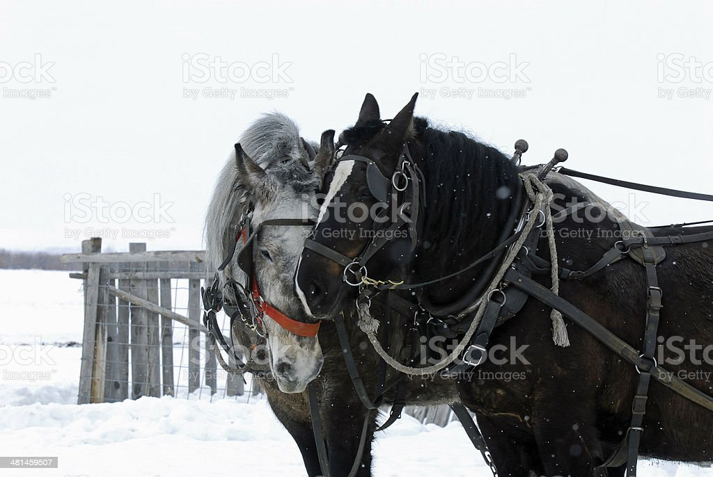 DRAFT HORSES IN THE BIG HOLE VALLEY, MONTANA. stock photo