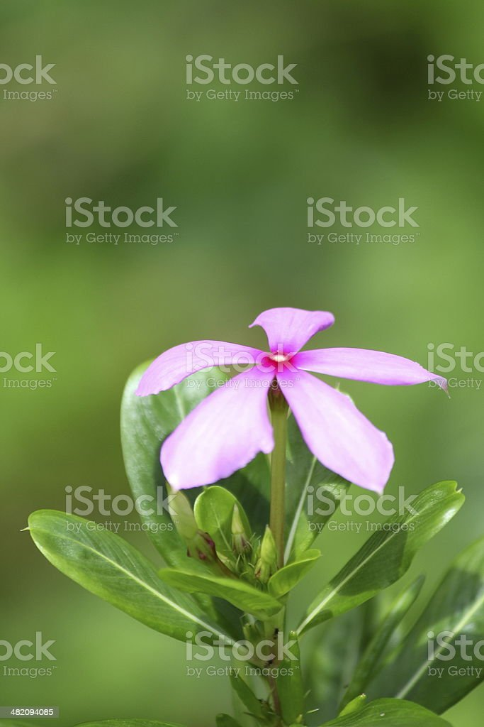 APOCYNACEAE FLOWER stock photo