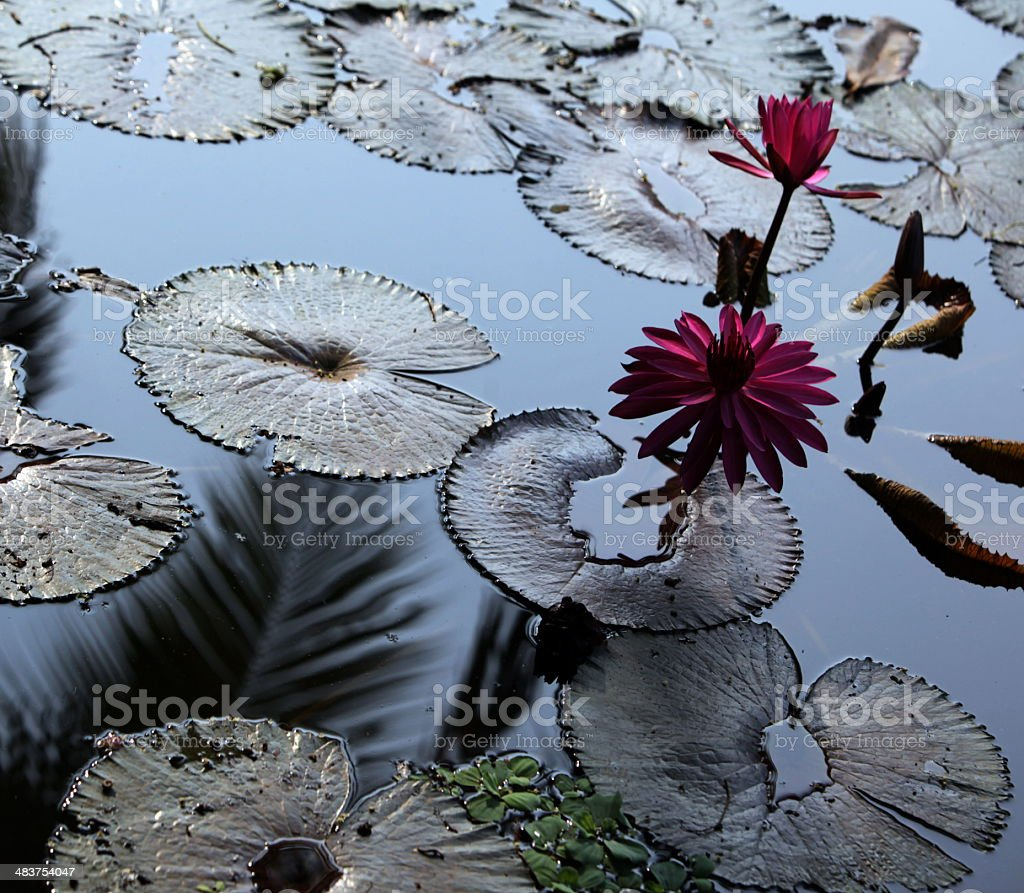 THAILAND AYUTHAYA LOUS FLOWER royalty-free stock photo