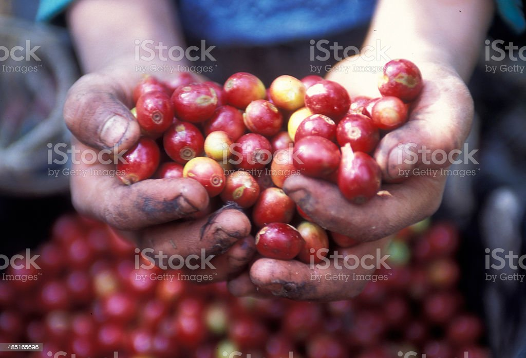 LATIN AMERICA GUATEMALA COFFEE stock photo